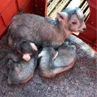 #乡村生活#农村自繁自养的青山羊一窝下了四个小羊羔,繁殖快,下羔多,奶水足,好饲养