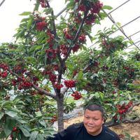 #服务三农,服务百姓#主干纺锤型樱桃树怎么培育的,吉塞拉樱桃苗